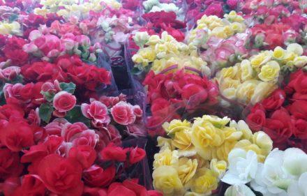 FESTIVAL DE HOLAMBRA EM RECIFE 3 440x281 - Flores de Holambra no Recife